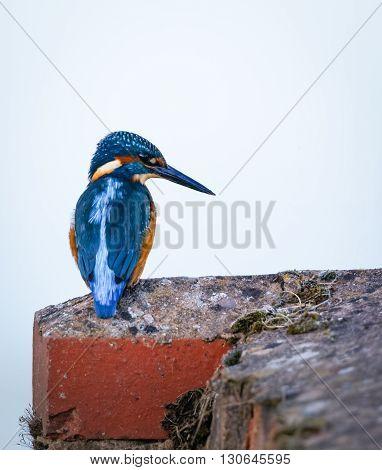 Wild Kingfisher sat on edge of lock bricks