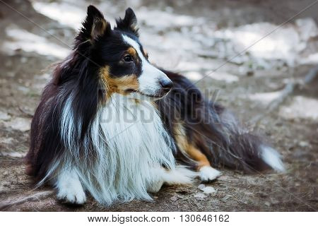 Sheltie dog lies on the forest floor out of focus.