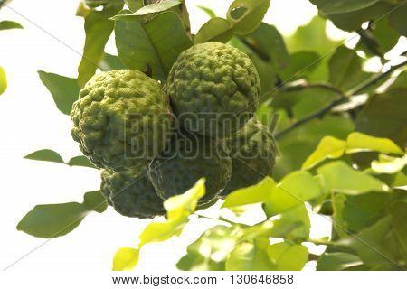 Bergamot herb Thailand. Bergamot Fruit With Leaf. Bergamot fruit with leaf, tropical fruit ,herbal