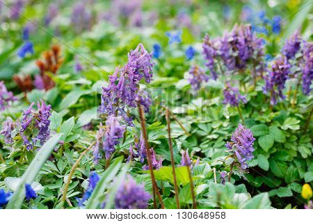 Field Of  Violet (hollowroot, Corydalis Cava) Spring Flowers.