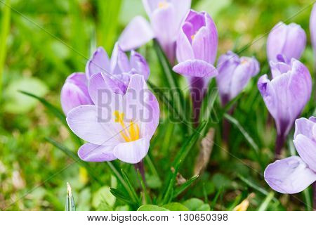 Group Of Purple Crocus (crocus Sativus) With Selective/soft Focus And Diffused Background In Spring,