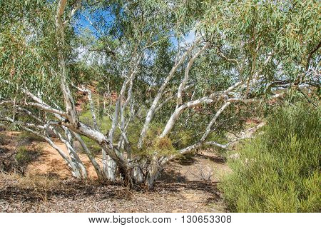 Native tree growing in the Kalbarri National Park tourist attraction in Kalbarri, Western Australia.