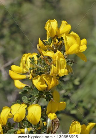 Spiny Broom - Calycotome villosa Yellow Garrigue Shrub