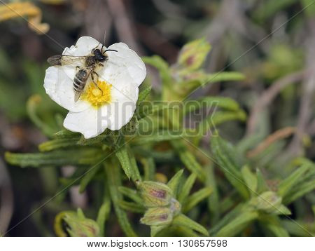 Narrow-leaved Cistus - Cistus monspeliensis White Flower with Wasp