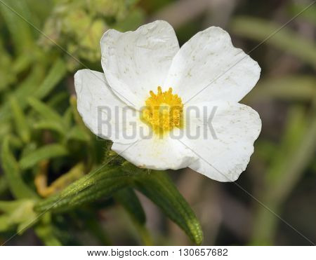 Narrow-leaved Cistus - Cistus monspeliensis White Flower from Cyprus