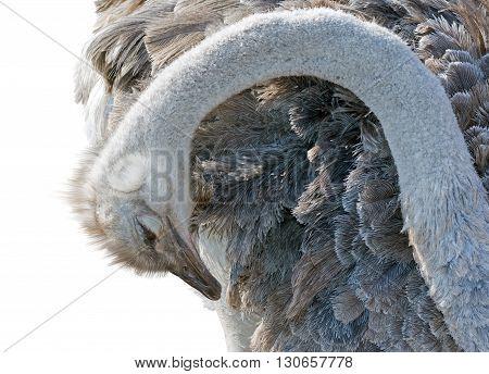 the big Emu isolated on white background