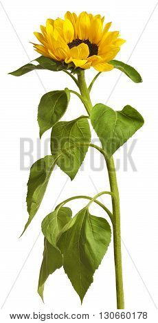 A photo of a sunflower with a very long stem isolated on white
