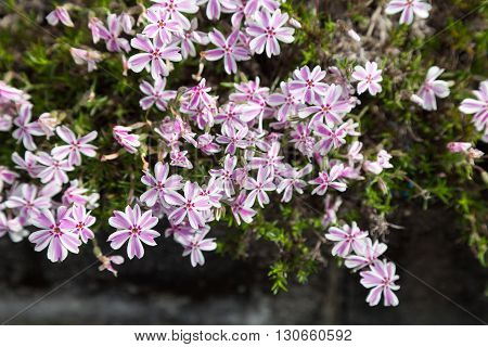 colorful pink moss phlox as background. Pink Moss Flower