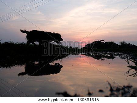 Gun dog crossing still water at sunset