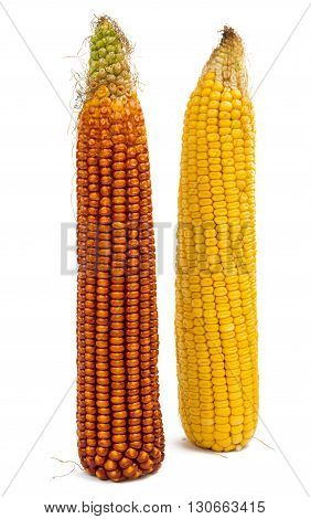 farming, food corn isolated on white background