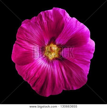 Flower lavatera black isolated background with clipping path. Closeup with no shadows. Nature. Yellow pink lilac purple green blue cyan aquamarine red orange white.
