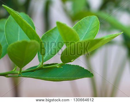 kaffir lime leaves Bergamot on Tree ( Focus leaves the bottom)