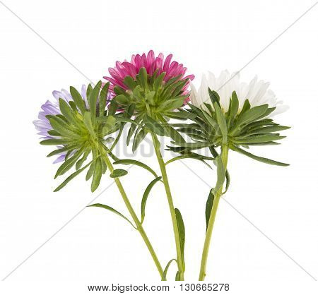 nature, petal aster flower on a white background