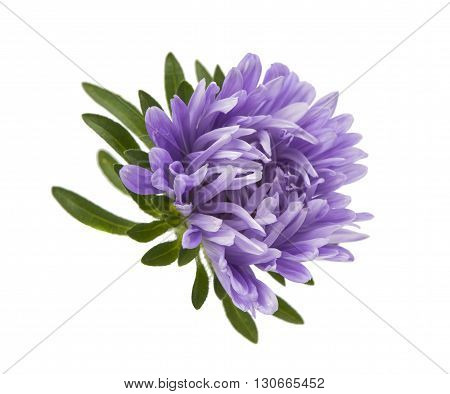 china aster flower on a white background