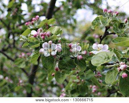 Blooming flowers on the apple branch in early spring