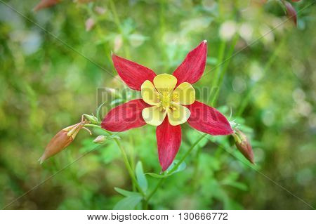 Beautiful red flower Aquilegia. Flowers in the garden