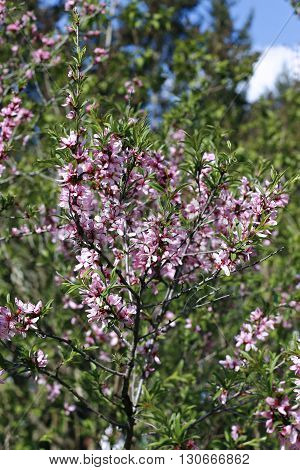 The shrub steppe almond blooming pink flowers at spring