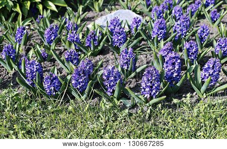 Blue hyacinth flowers on a sunny day in early spring