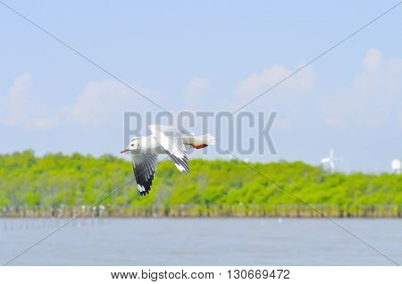 flying seagull over the water , seagull