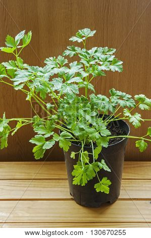 Coriander herb growing in plant pot, ready for planting out (Coriandrum sativum)