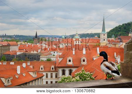 Prague. Medieval architecture with a duck sitting in the foreground. Awesome picture