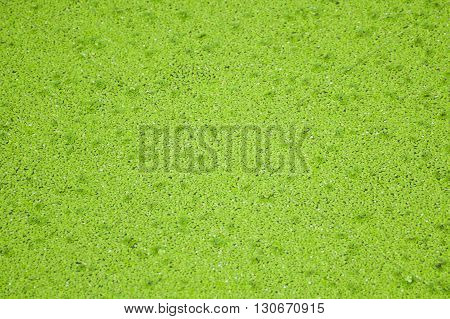 close up fresh green duckweed texture for background