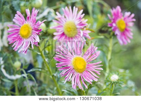 Pink asters in a garden in autumn close-up