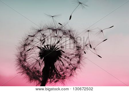 A Dandelion blowing seeds in the wind.