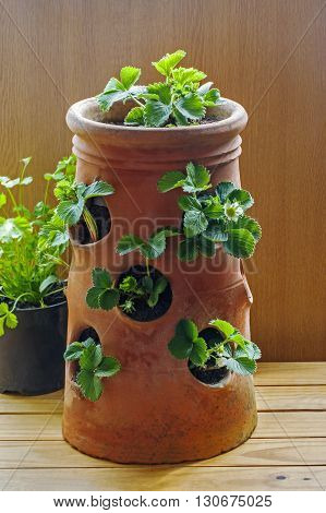 Terracotta strawberry planter, with young plants and strawberries in flower: ideas for planting / potting and gardeners' delight.
