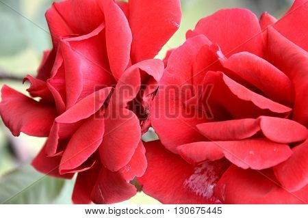 two red roses smooth petals beautiful bright colored
