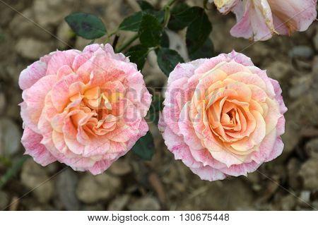 two beautiful pink and orange tone dual roses pair