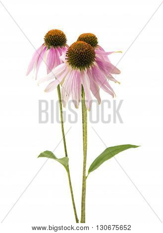 echinacea, flora coneflower isolated on white background