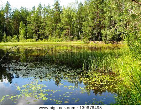 Forest pond after rain. Clear summer day