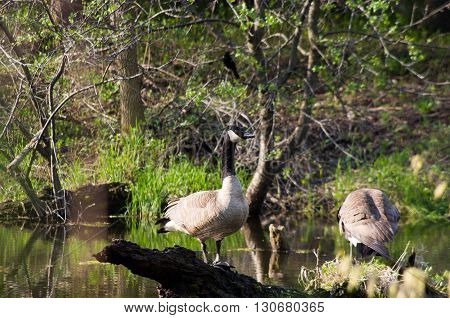 canadian geese nesting together on a small island in a pond.