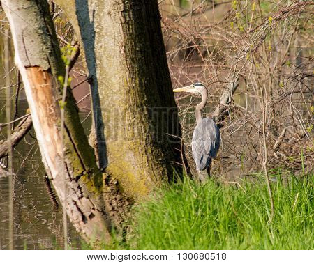heron on the shore fishing for frogs.