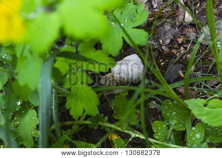 snails with shells in the grass in spring forest