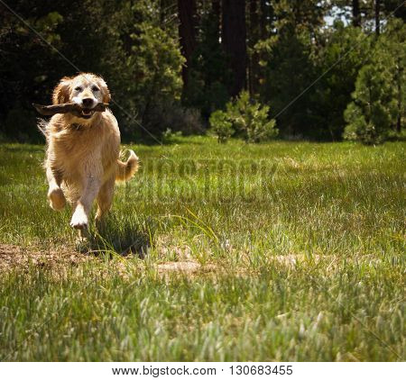 Golden Retriever dog playing fetch in an alpine meadow with pine trees