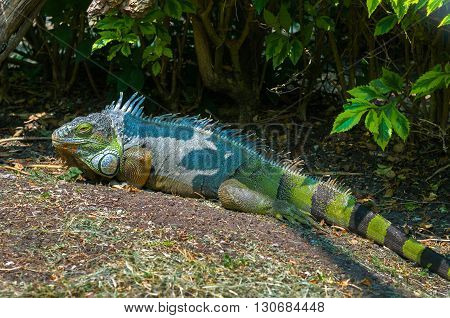 Green Iguana Common Iguana or American iguana. Species of lizard in Central and South America