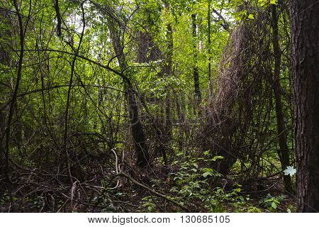 braided wild grape trees in the forest