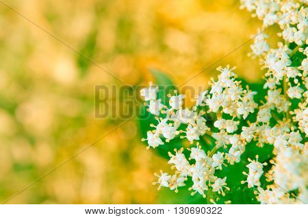 Flowers elderberry Sambucus nigra elderberry flower with copyspace