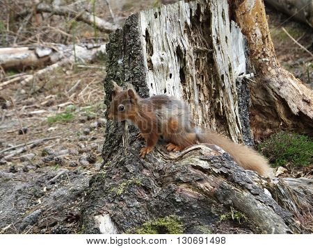 Red Squirrel on an old tree stump
