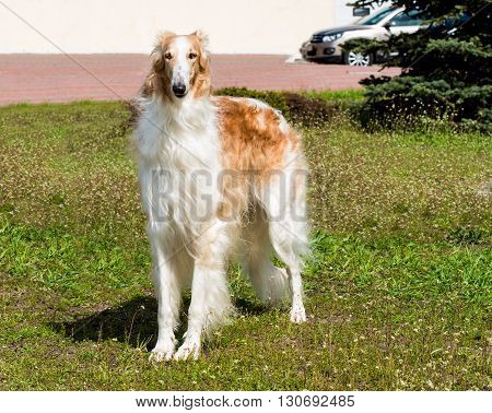 Borzoi Russian full face. The Borzoi Russian dog is on the green grass.