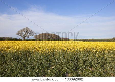 Flowering Oilseed Rape Crop