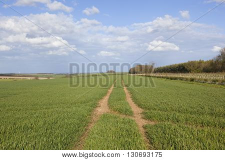 Wheat Crops In The Yorkshire Wolds