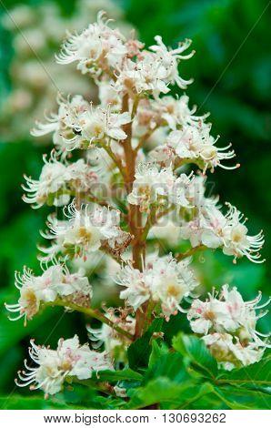 Horse-chestnut (Aesculus hippocastanum Conker tree) flowers vintage