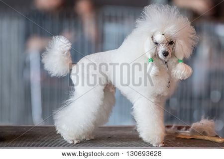 Poodle White Dog Looking At You On A Toilet Table