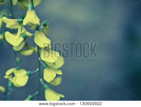 Robinia pseudoacacia tree flowers know as black locust yellow copy space