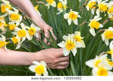 hands picking narcissus flowers in the garden closeup