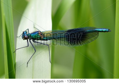 Male Banded Demoiselle (Calopteryx splendens) perched on a reed.