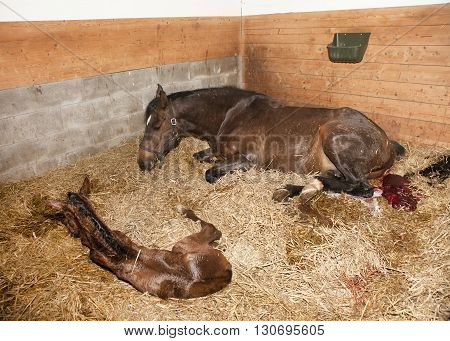 Mare Gave Birth To Foals